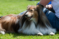 animal sports(0.0), dog breed(1.0), animal(1.0), dog(1.0), pet(1.0), mammal(1.0), scotch collie(1.0), rough collie(1.0), collie(1.0), conformation show(1.0), shetland sheepdog(1.0),