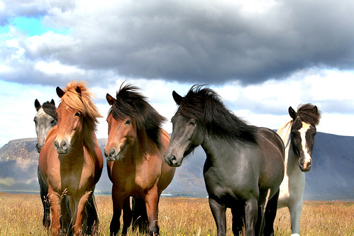 Icelandic horses. (Explored)