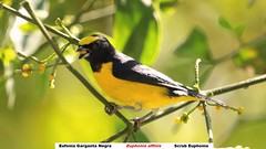 robin(0.0), brambling(0.0), animal(1.0), eurasian golden oriole(1.0), branch(1.0), yellow(1.0), fauna(1.0), finch(1.0), beak(1.0), bird(1.0), wildlife(1.0),