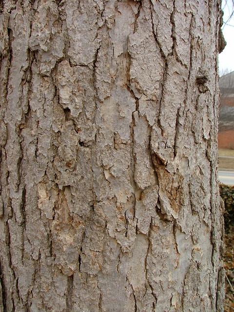 White oak bark flickr photo sharing