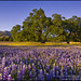 Oak trees and field of wildflowers in Spring, Los Padres NF, California by enlightphoto