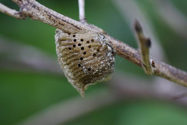 Praying Mantis Eggs Praying mantis egg cas...