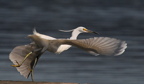 bird wildlife flight australia nsw centralcoast erina egret featheryfriday anawesomeshot superaplus aplusphoto