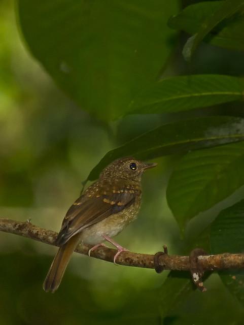 "Jurvenile Flycatcher...Grey-chested Jungle Flycatcher ""Rhinomyias umbratilis"""