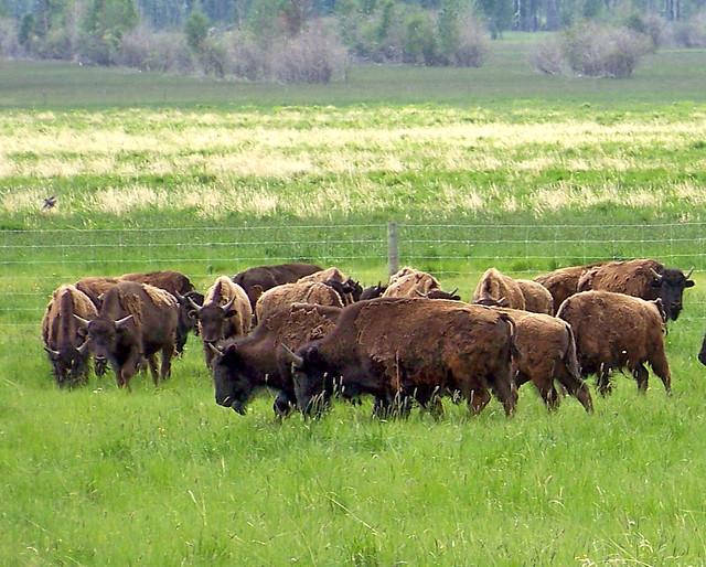 AB09f330 Bison Ranch, Alberta 2009