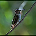 Saturday Morning Hummingbird