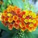 Verbenaceae 馬鞭草科