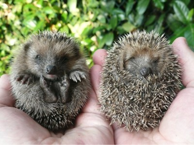 A handful of baby hedgehogs!