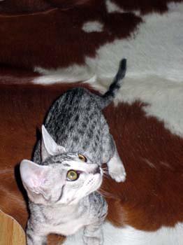 Baby Ocicat