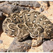 Puff Adder - Photo (c) J. Gállego, some rights reserved (CC BY-NC-SA)