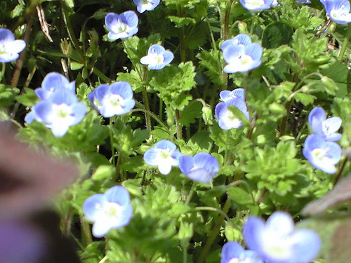 large field speedwell