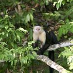 White faced Capuchin Cebus capucinus