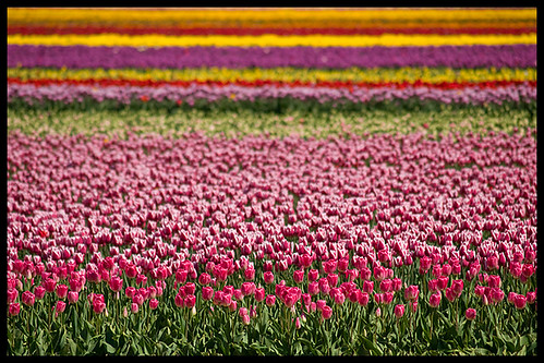 pink flowers red canada green yellow kent spring bc purple tulips britishcolumbia vibrant vivid colourful agassiz naturesfinest zd 40150mm seabirdisland olympuse3