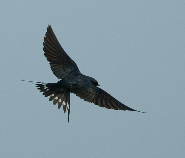 Barn Swallow In Flight 99