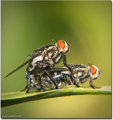 Fly ehem ehem - Fly mating