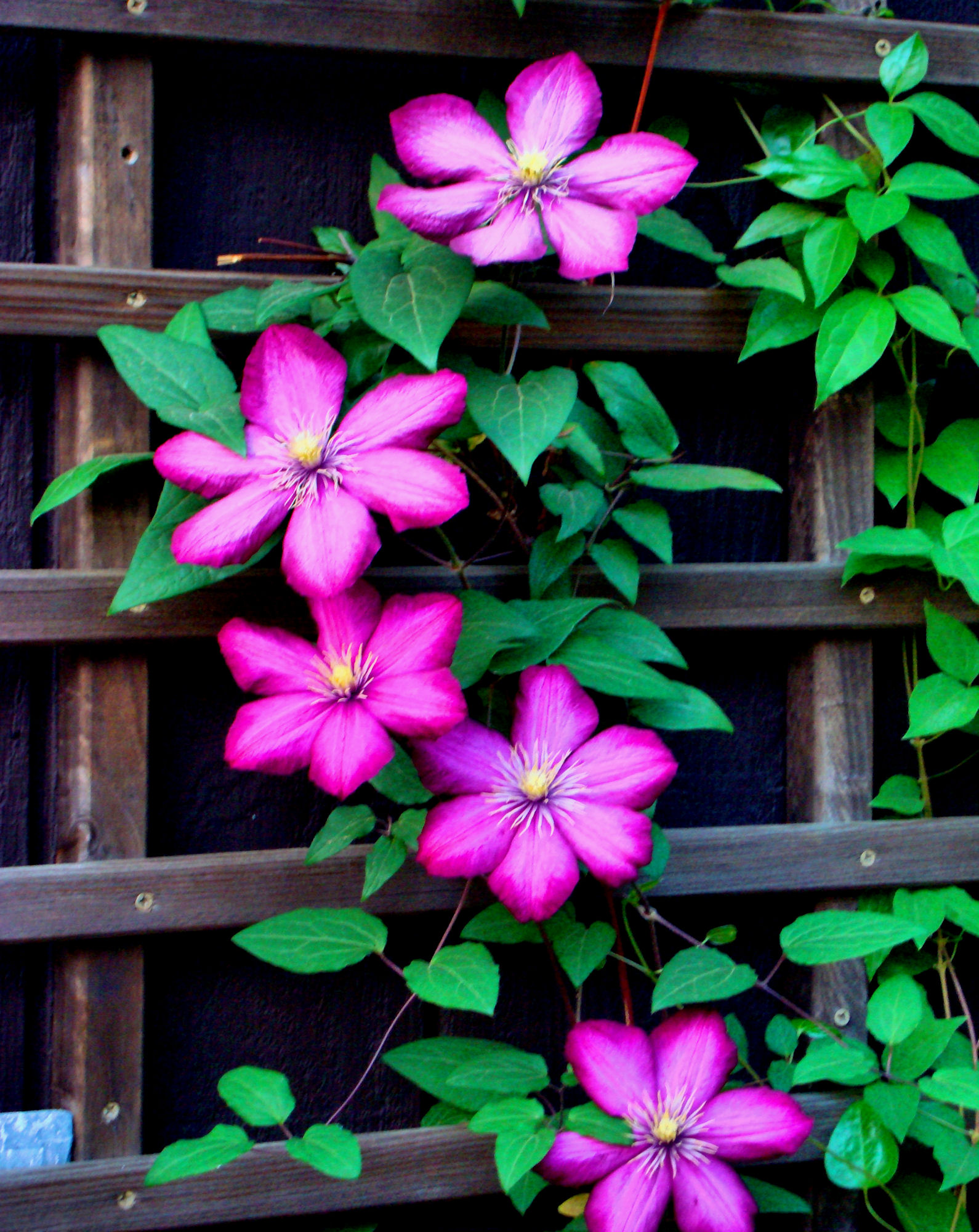 Pink Clematis On Trellis Flickr Photo Sharing