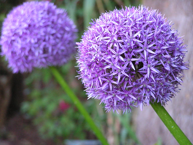 Header of Alliums
