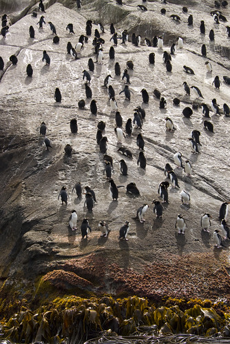 Snares crested penguins by cjuel