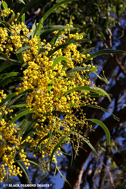 Acacia macradenia - Zig Zag Wattle, Blackdown Tableland Wattle (On Track to Horseshoe Lookout)