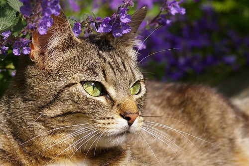 When cats sense the bruised leaves of catmint...