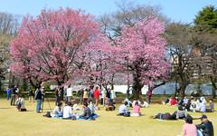 Cherry Blossoms at Shinjuku Gyoen, Tokyo Japan