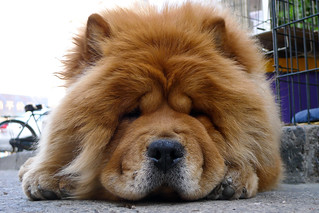 Calmest Long Haired Dog Breed