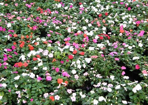 Plantas de ornamento for Algunas plantas ornamentales