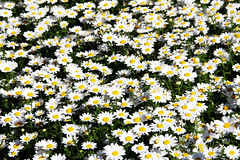 asterales, annual plant, flower, field, marguerite daisy, chamaemelum nobile, tanacetum parthenium, daisy, wildflower, flora, oxeye daisy, meadow, daisy,