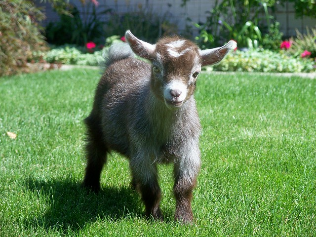 The Pygmy Goat - Not So Gruff | The Ark In Space