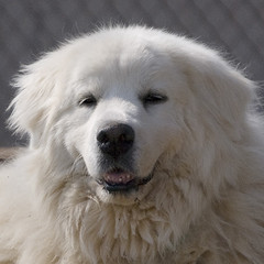 dog breed, animal, polish tatra sheepdog, dog, maremma sheepdog, slovak cuvac, livestock guardian dog, carnivoran, great pyrenees, samoyed,