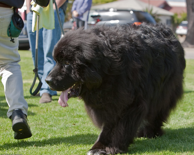 Giant Newfoundland Dogs For Sale