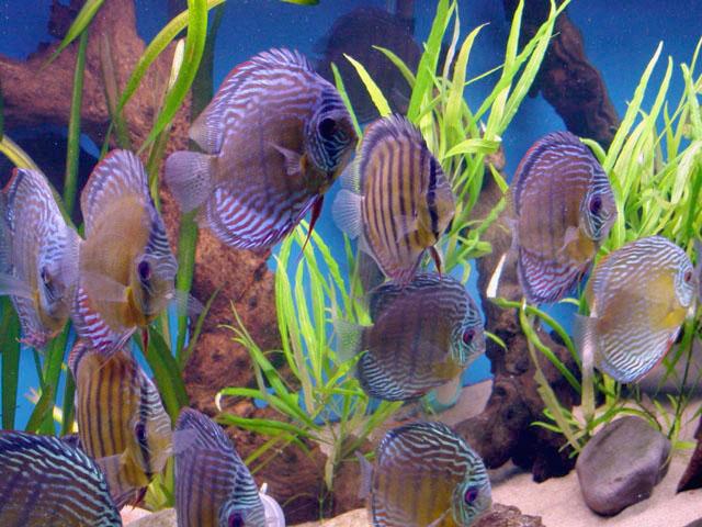 Ornamental fish flickr photo sharing for Ornamental fish
