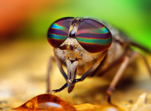 Female Tabanus Horse Fly