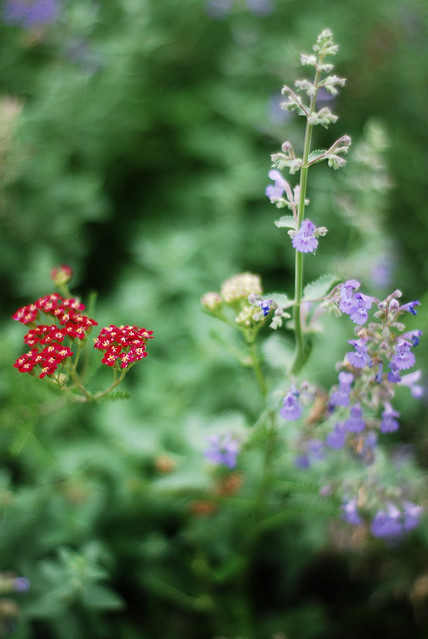 Rosy Red Yarrow Beside Purple Nepeta