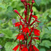 Cardinal flower - Photo (c) Steve Guttman, some rights reserved (CC BY-NC-ND)