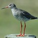Common Redshank - Photo (c) Sandy & Ingrid Morrison, some rights reserved (CC BY-NC-ND)
