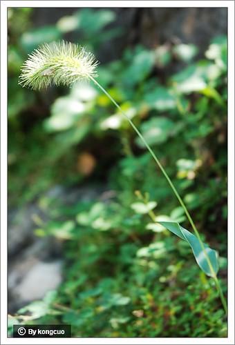 北京阳台山的常见野花-禾本科狗尾草属狗尾草(和狼尾草的叶子形状不同)