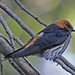 Lesser Striped-Swallow - Photo (c) Jerry Oldenettel, some rights reserved (CC BY-NC-SA)