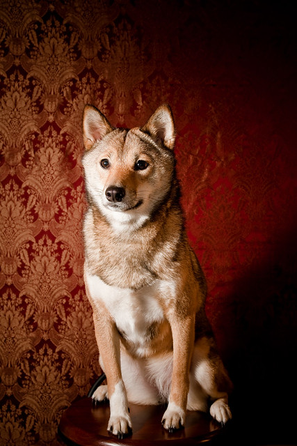Shiba Inu Portrait: Kiba
