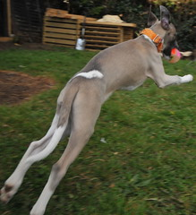hound(0.0), saluki(0.0), dog sports(1.0), animal sports(1.0), dog breed(1.0), animal(1.0), dog(1.0), polish greyhound(1.0), whippet(1.0), galgo espaã±ol(1.0), sloughi(1.0), sports(1.0), pet(1.0), greyhound(1.0), carnivoran(1.0),