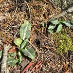 Rattlesnake Plantain (I think)