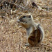 Nelson's Antelope Squirrel - Photo (c) Maggie.Smith, some rights reserved (CC BY-NC)