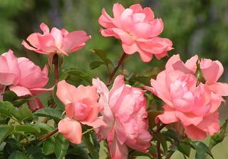 """Mis rosas  """" para ustedes amigos """""""