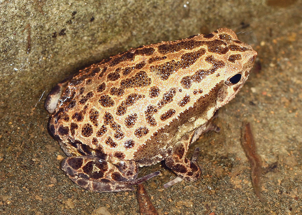 Spotted Narrow-mouthed Frog (Kalophrynus internineatus)