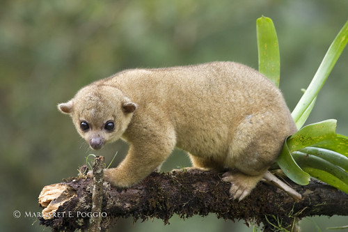Kinkajous are Too Cute