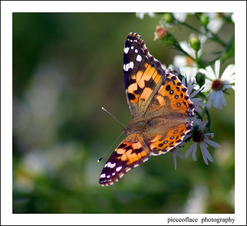 Painted Lady on Heath Aster...