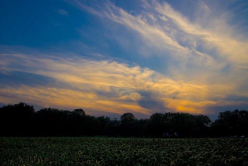 sunset ohio field yellow springs sunflower