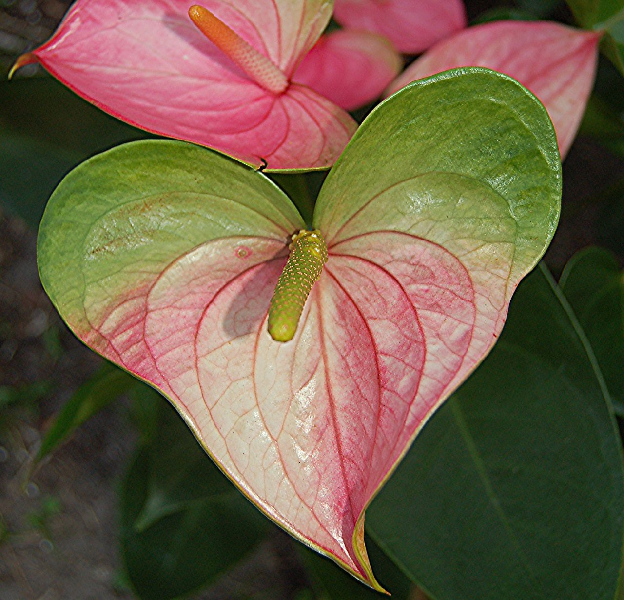 Heart-shaped pink and green Anthurium