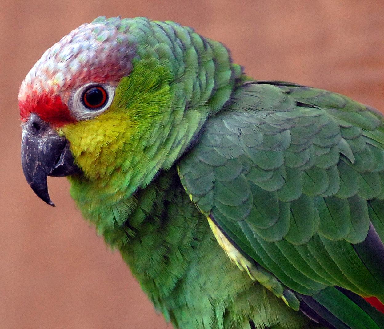 Image Result For Amazon Parrot Coloring