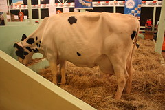 cattle-like mammal, animal, dairy, mammal, dairy cow, cattle,